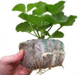 Jiffy_growblock_8_cm_z_pelargonia1