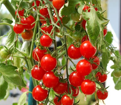 cherry-tomato-sweet